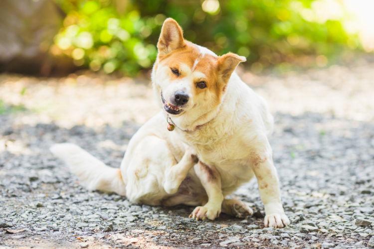 【獣医師監修】犬の「ノミアレルギー性皮膚炎」原因や症状、診断、治療法、予防対策は?