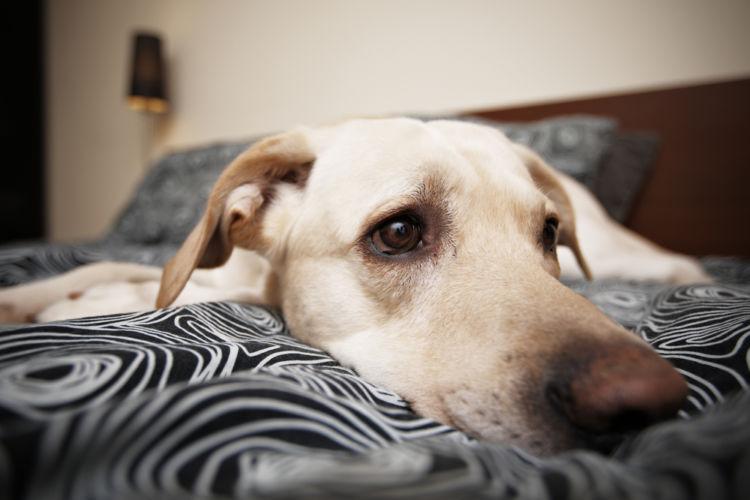 【獣医師監修】犬が急に元気がなくなり(動かない)心配。考えられる原因や症状、おもな病気は?