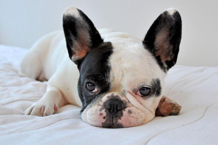 【獣医師監修】犬の「外耳炎」原因や症状、診断、治療法(薬)、予防対策は?発症しやすい犬種は?