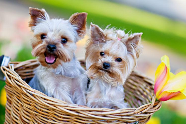 犬の表在性膿皮症【発症しやすい犬種】