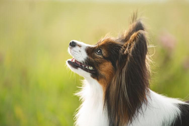 犬の表在性膿皮症と間違えやすい病気