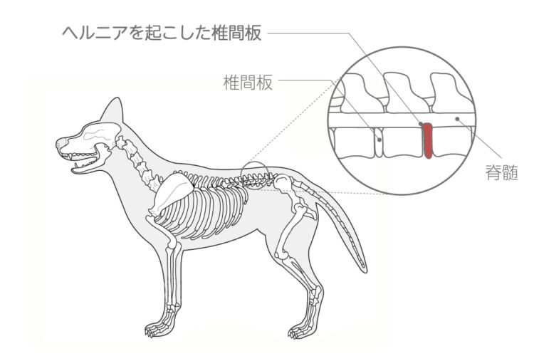 犬の椎間板ヘルニアの状態