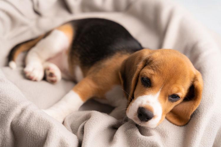 犬の薬理学的毛様体破壊術