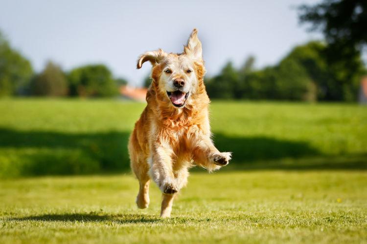狩猟犬だったゴールデン・レトリバー