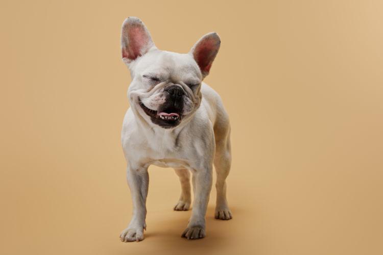 フレンチ・ブルドッグが高齢犬(シニア犬)になったら起こること
