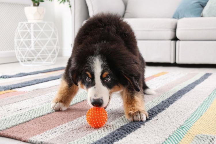 バーニーズ・マウンテン・ドッグと室内で遊ぶ