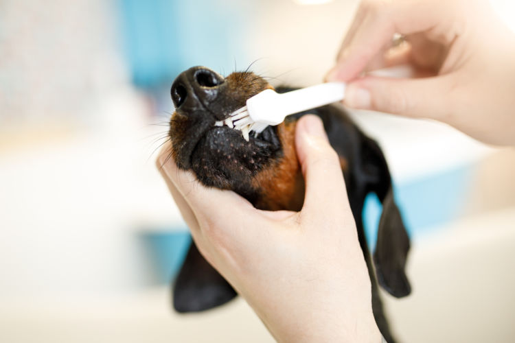 ミニチュア・ダックスフンドの歯磨き