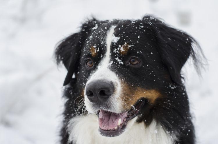 犬の寿命⑩【バーニーズ・マウンテン・ドッグ】