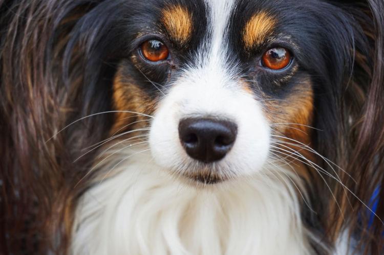 パピヨンが高齢犬(シニア犬)になったら起こること