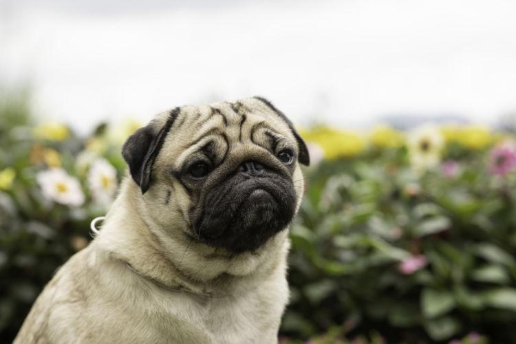 犬の寿命⑪【パグ】