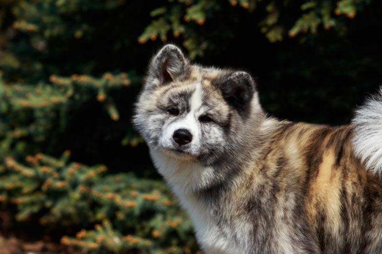 秋田犬の最高齢は何歳?