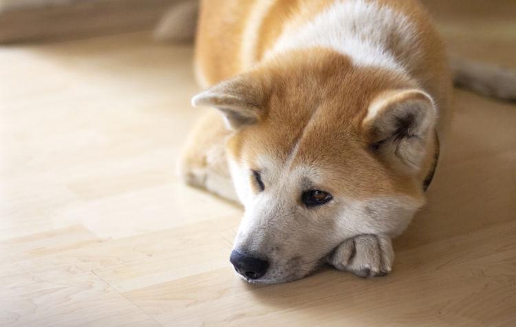 秋田犬がかかりやすい病気③腫瘍