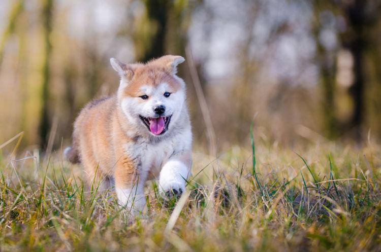 秋田犬の健康寿命を延ばす秘訣は?