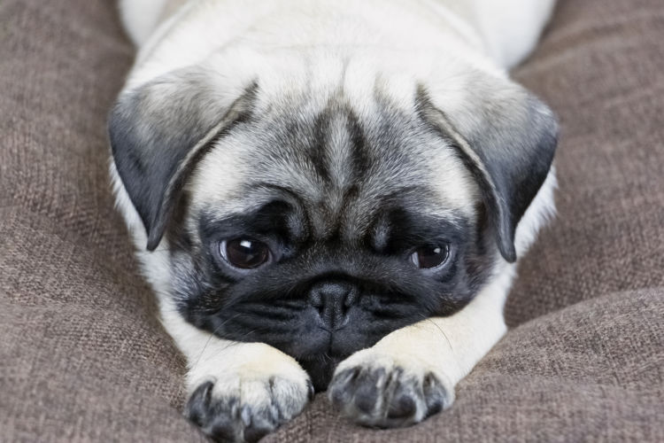 【獣医師監修】犬のストレス、病気や死亡の原因になる?ストレス行動やサイン、発散・解消法!