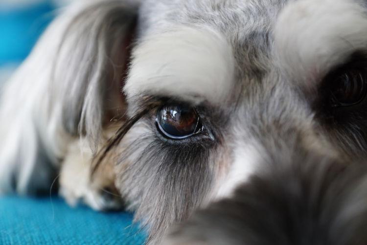 ミニチュア・シュナウザーが高齢犬(老犬)になったら起こること