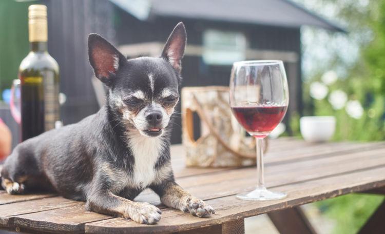 犬のアルコール致死量はどのくらい?(小型犬・中型犬・大型犬)