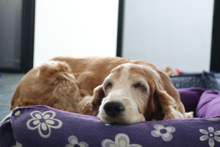 【獣医師監修】老犬を介護する際の悩みは?病気や医療費、トイレなど介護のポイントやコツ!
