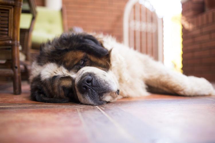 犬の「てんかん」の症状③群発発作