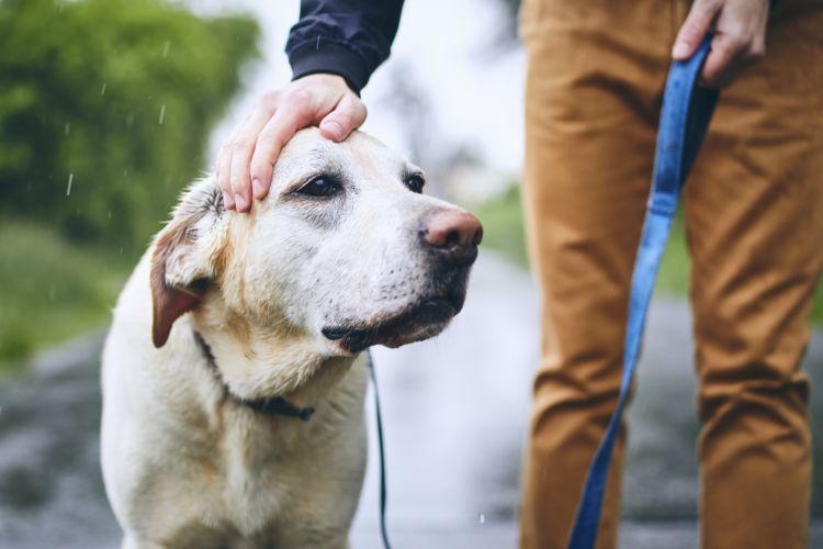 犬の寿命⑰【ラブラドール・レトリーバー】