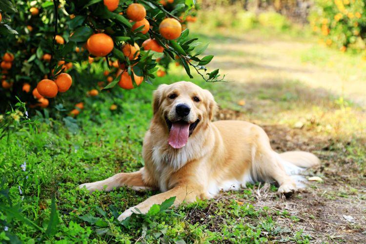 【獣医師監修】犬がみかんを食べても大丈夫?缶詰やゼリー、アイスは?外皮、薄皮、下痢に注意!