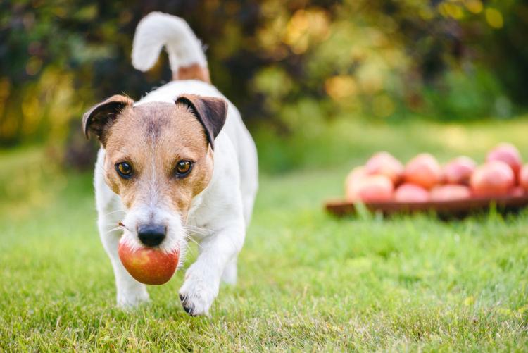 犬がりんごを食べても大丈夫!