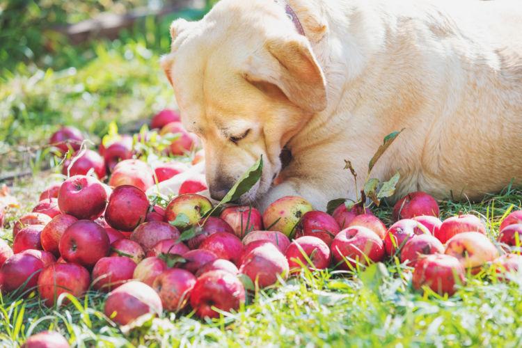 犬がりんごの【皮】【種】【芯】を食べても大丈夫?