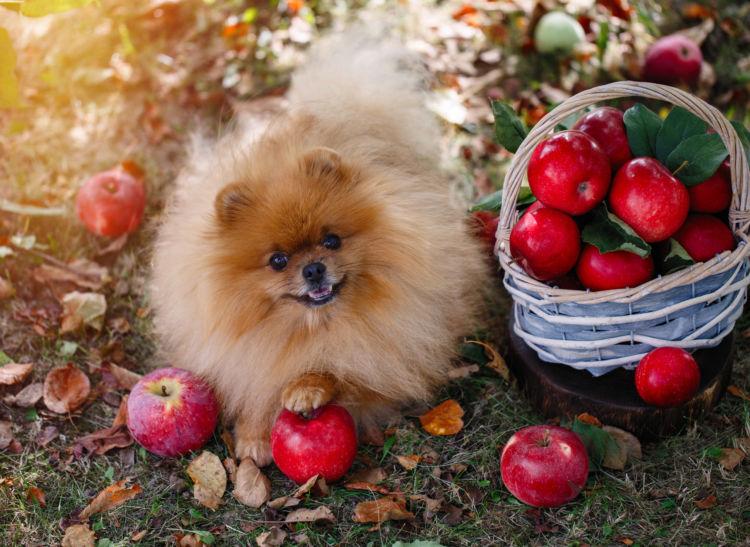 犬にりんごを与える際の【適量】は?(小型犬・中型犬・大型犬)