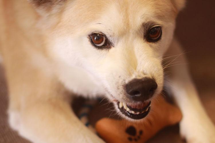 犬 認知症 中核症状