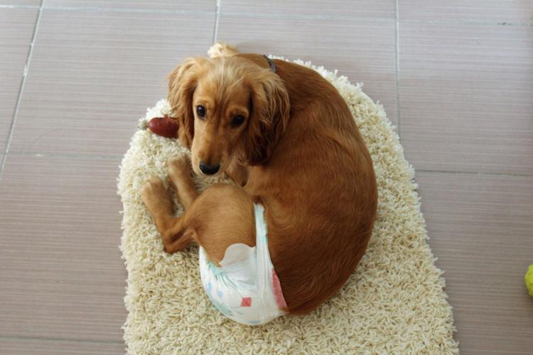 【獣医師監修】犬の「生理(ヒート)」期間はいつまで?陰部腫れ、生理痛は?避妊手術は必要?