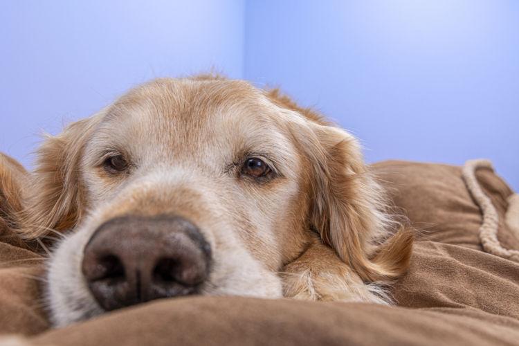 犬の「生理(ヒート)」生理痛はある?生理中の症状は?