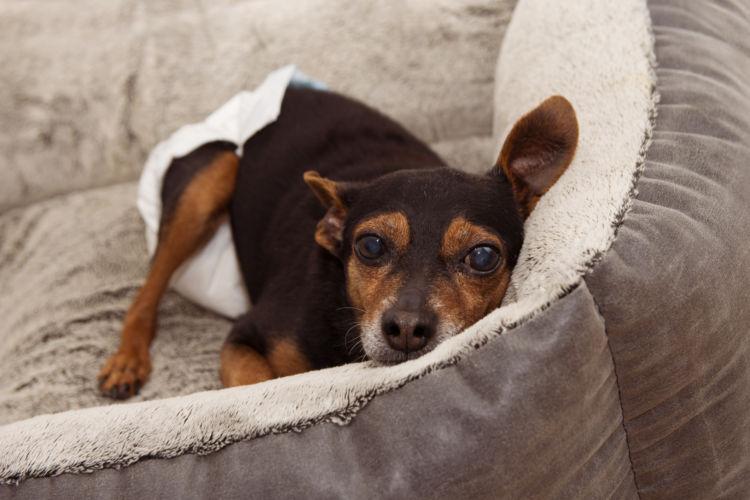 老犬の震えに気をつけたい犬②【筋肉量の落ちた老犬】