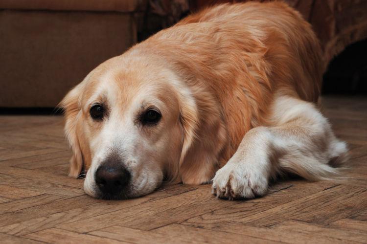 【獣医師監修】愛犬が急に認知症に?老犬の「認知症」原因や症状、対策、治療、予防方法は?