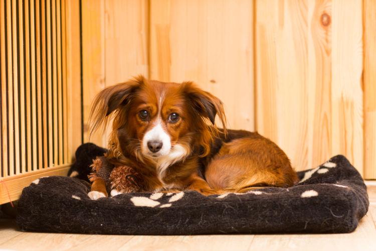 老犬の認知症【有病率・リスク因子】
