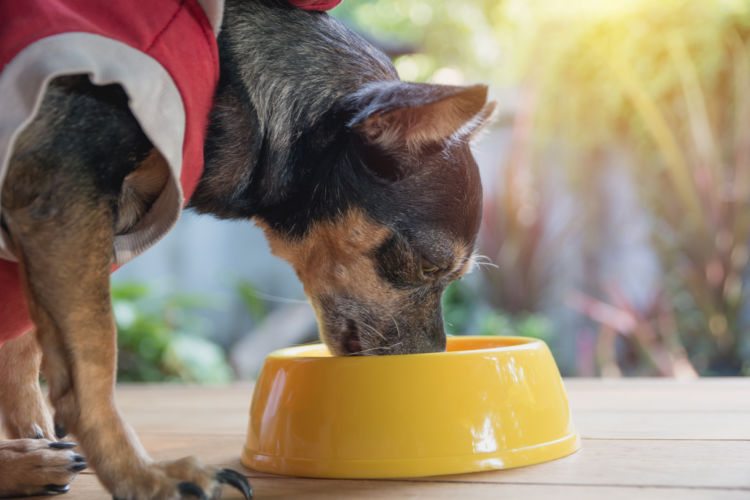 【獣医師監修】老犬におすすめの食事は?適量や回数、注意点は?食べさせ方と手作りレシピ!