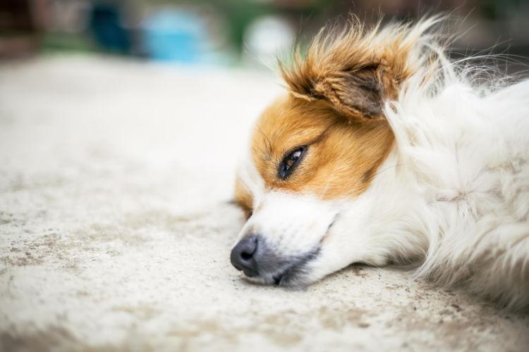 犬のネギの誤食【溶血性貧血】の恐れあり!