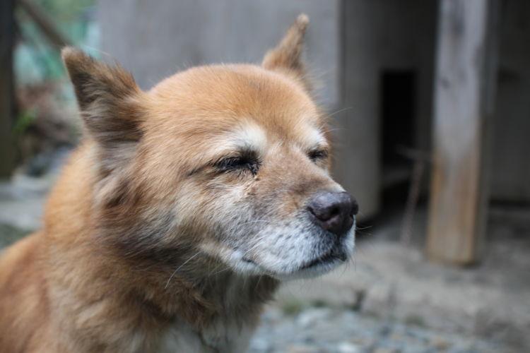犬 認知症 症状