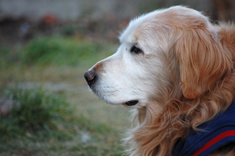 犬 認知症 加齢
