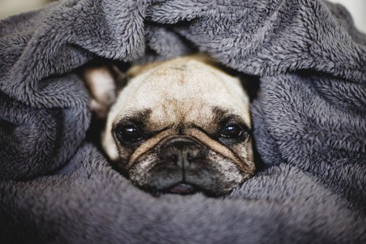 【獣医師監修】老犬の震え(振戦)の原因や理由は?対処・治療法、治療費、予防対策は?