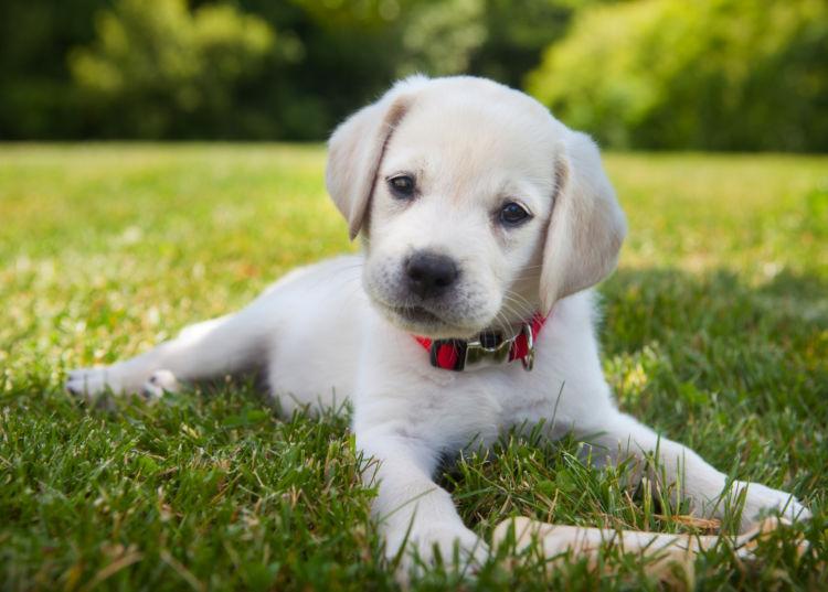 ラブラドール・レトリバー 子犬 年齢換算