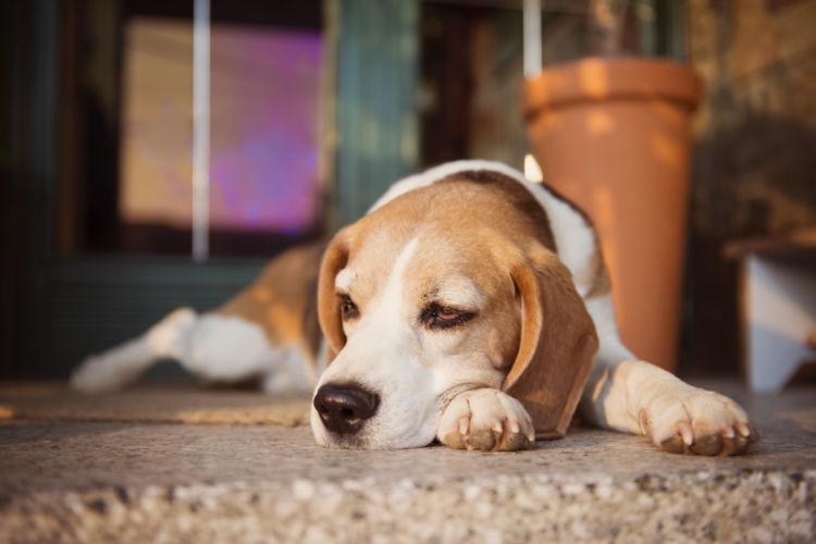 【獣医師監修】老犬の痙攣(けいれん)発作の原因や理由は?対処・治療法、治療費、予防対策は?