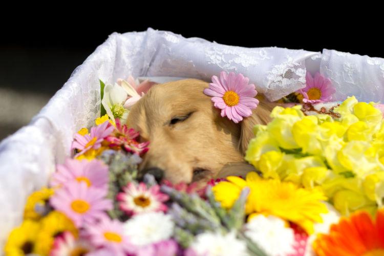 【獣医師監修】老犬の最期の症状は?老衰、介護、病気など愛犬の看取り方やペットロスは?