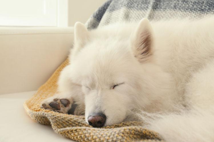 老犬(高齢犬)のサモエドとの生活のコツ!
