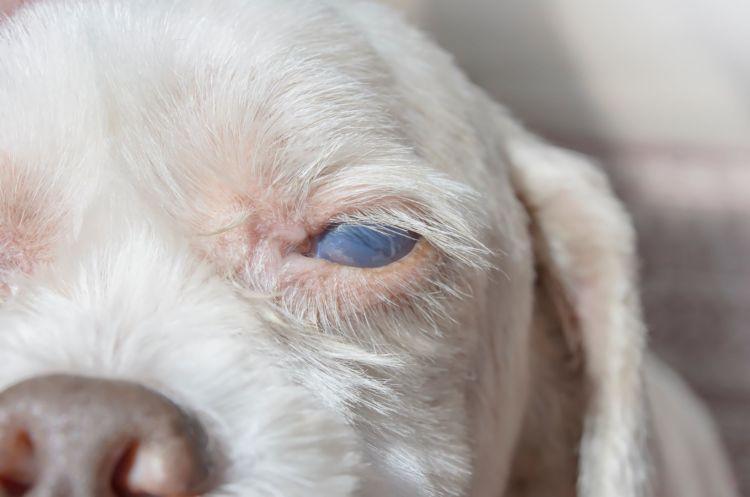 考えられる主な病気⑥【犬の白内障】