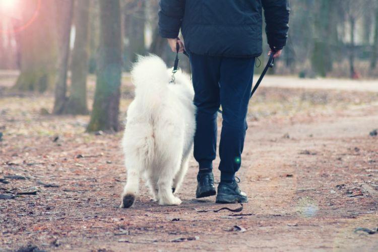 サモエド 老犬 世話 介護