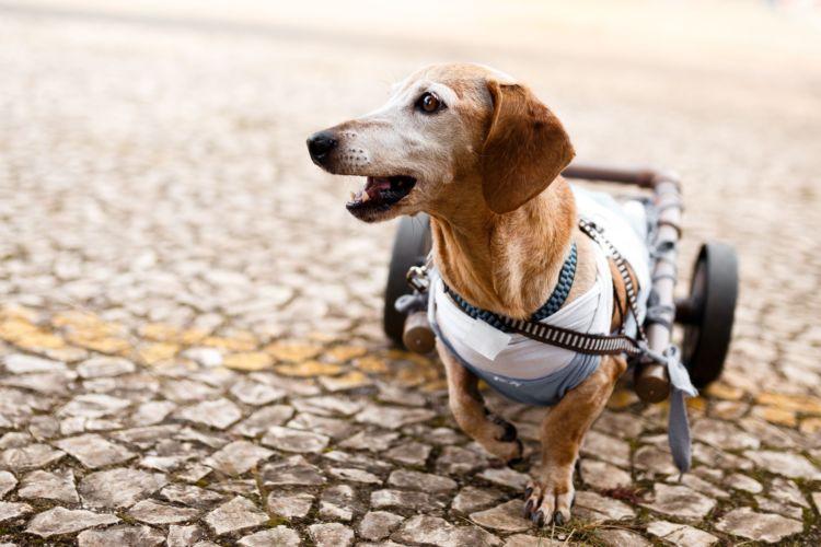 犬が自分の体を舐める・噛む「主な病気」②【椎間板ヘルニア】