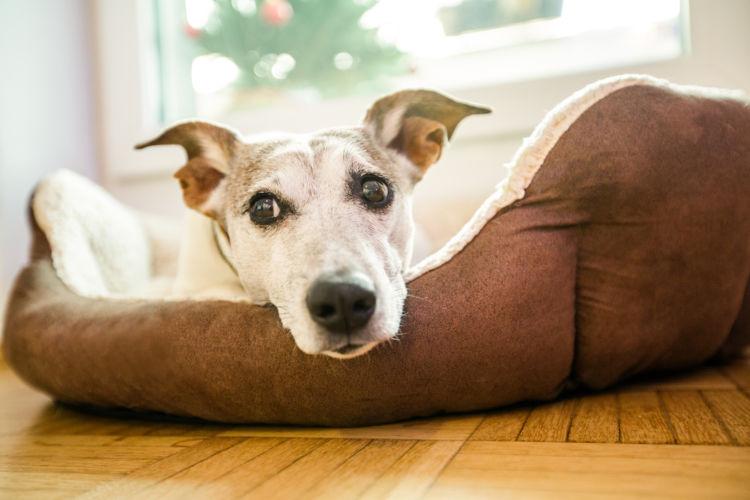 【獣医師監修】老犬の介護に必要なベッド、ベッド選び(床ずれ防止)のポイントやコツ、注意は?