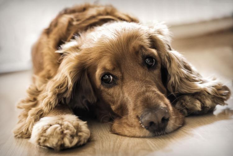 【獣医師監修】老犬の便秘が心配、何日が動物病院に行く目安?原因や理由、解消方法、予防対策は?