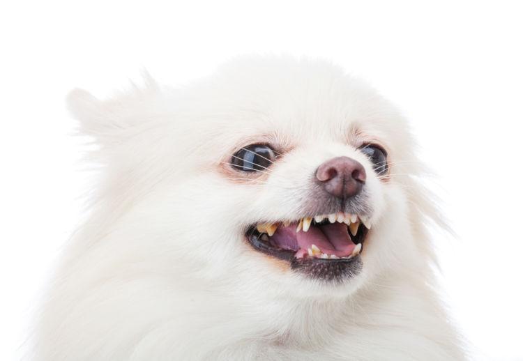 老犬の吠える【吠えやすい犬種】