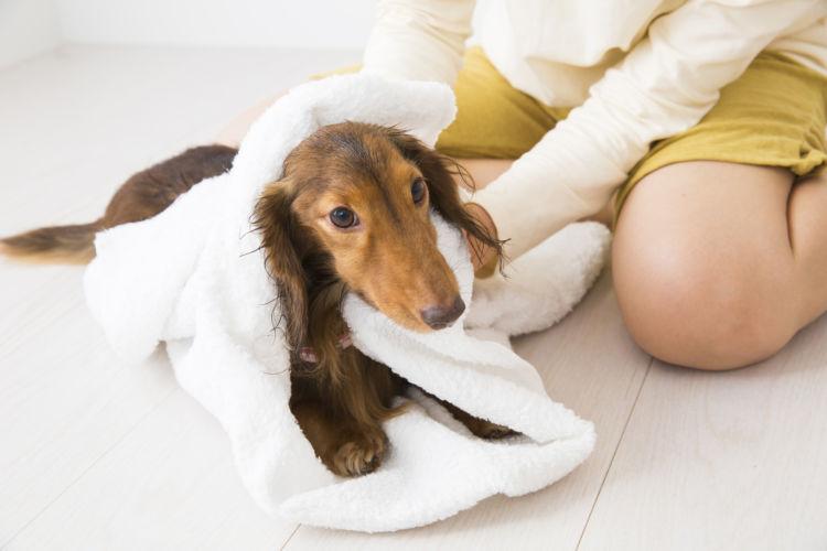 老犬 シャンプー 寝たきり 乾かす