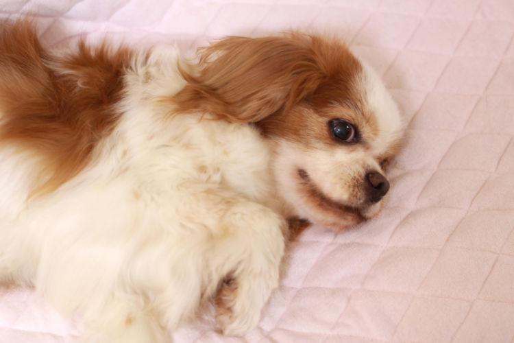【老犬の寝たきり】対応と対処法②「暴れる」